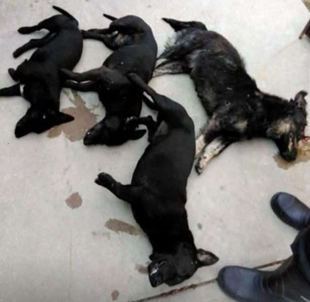 事件中被抓的其中4隻臘腸犬,最後被安樂死。(網圖)
