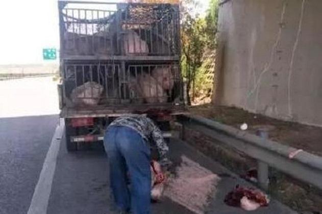 豬販就地宰殺豬隻以示「教訓」,血淋淋的畫面嚇倒路過的途人。