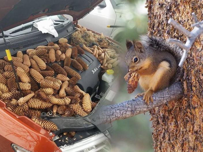 有私家車車頭變成「松果倉庫」,被松鼠收藏了50磅重的松果。