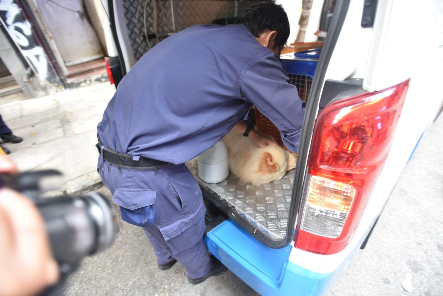 鬆獅狗獲救後,由香港愛護動物協會送上專車。