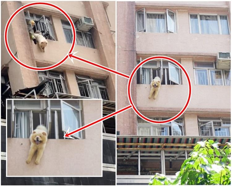 消防員以繩索固定位置後,慢慢將狗隻抱入屋內。相片由讀者提供