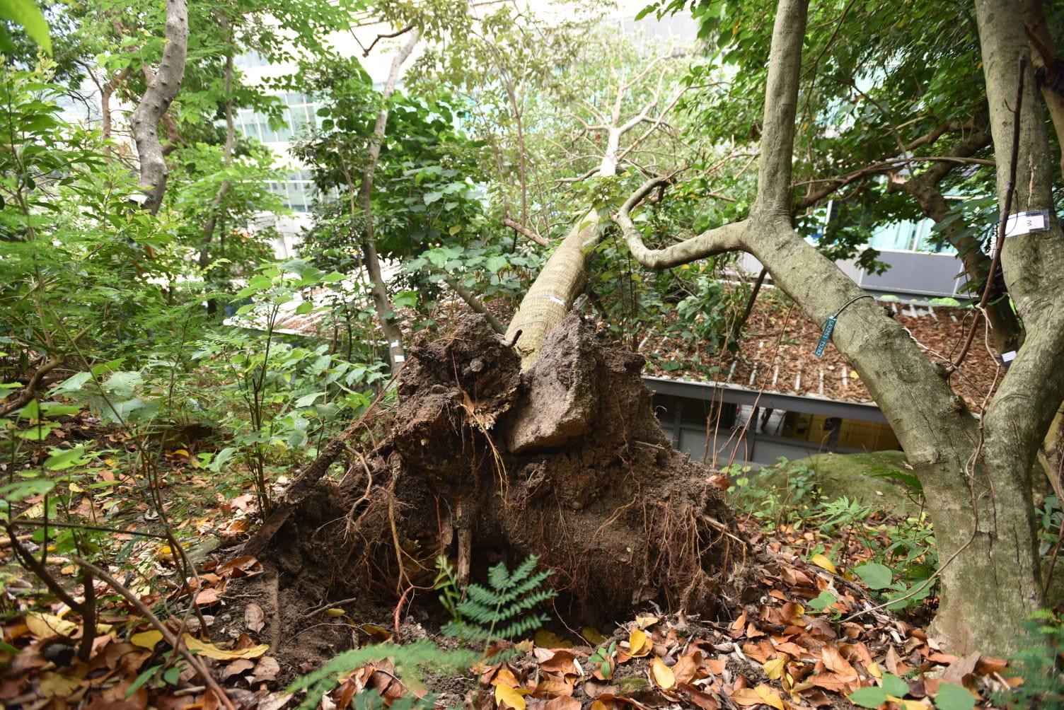 一棵大樹突然塌下,壓住寫字樓的頂部。 楊偉亨攝