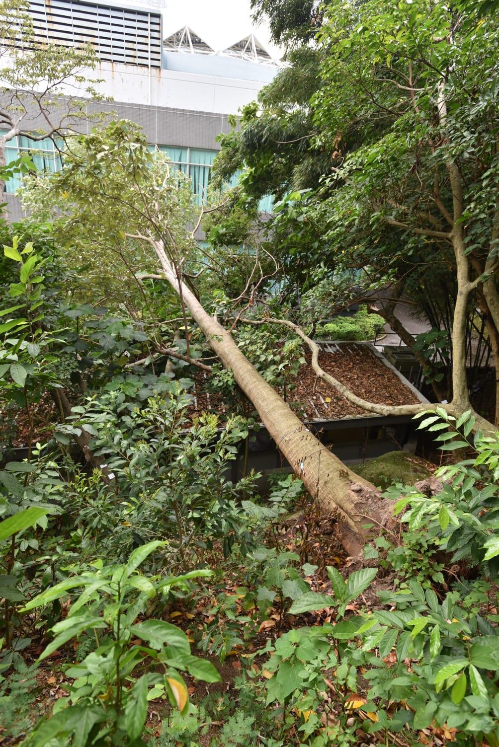 一棵約15米高的大樹突然塌下,壓住寫字樓的頂部。 楊偉亨攝