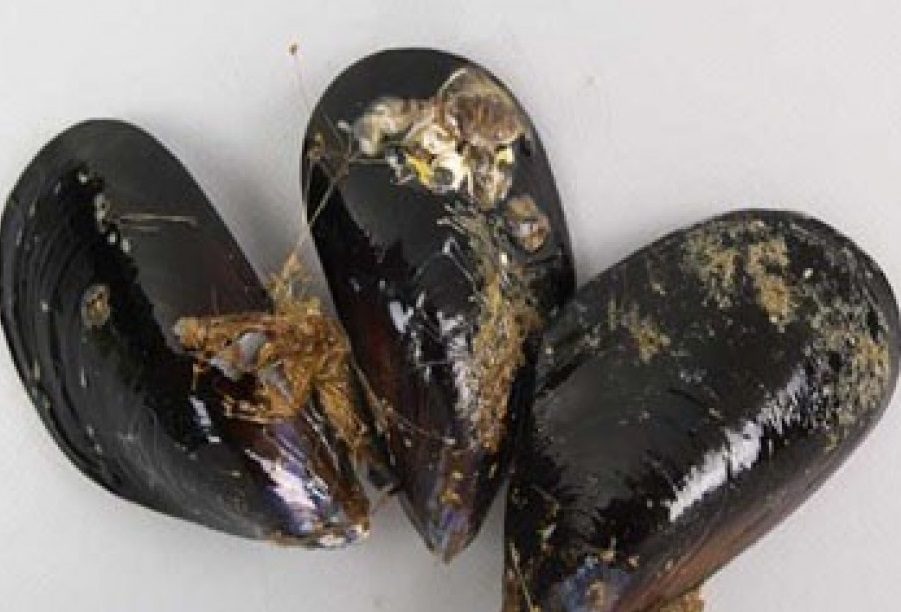東京灣沖繩貝類首現大量微膠粒。