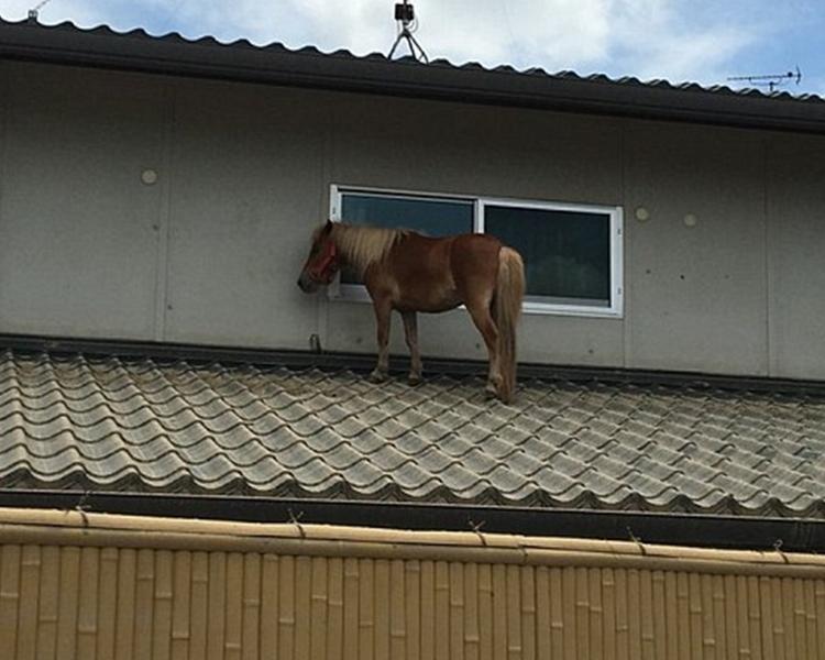 「Leaf」被發現躲在附近的民宅屋頂上避難。網圖