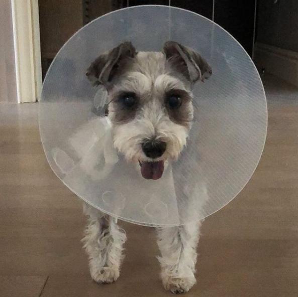 楊丞琳愛犬患肥大細胞瘤。ig圖片