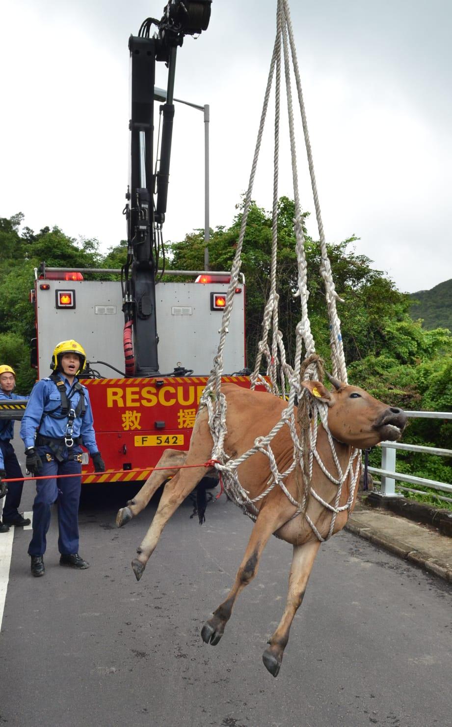 西貢北潭路近麥理浩夫人渡假村的一處山坡,今早附近村民發現一隻約兩米長的黃牛,跌落5米斜坡下。林思明攝
