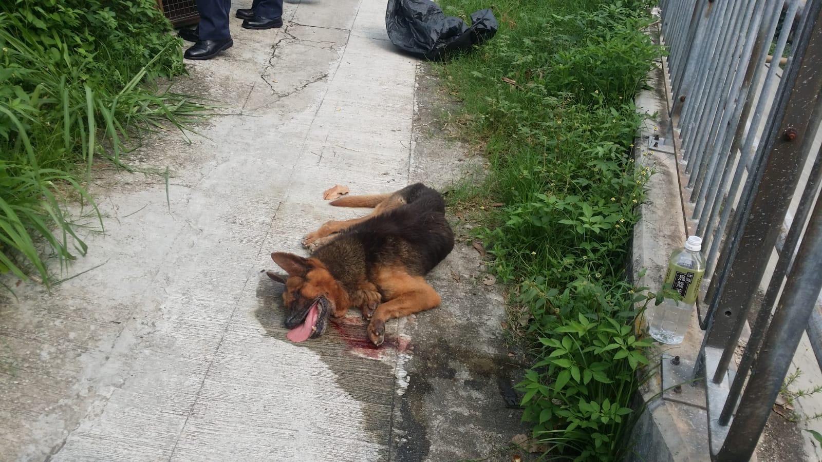 虎地下村有狗隻頸部被圍上鐵線,受傷倒地,現場留有血跡。
