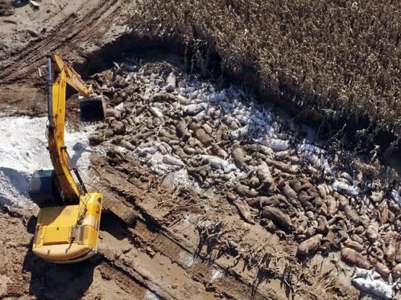 濰坊和壽光市派出專業人員進駐,大型機械挖土坑埋死豬。網圖