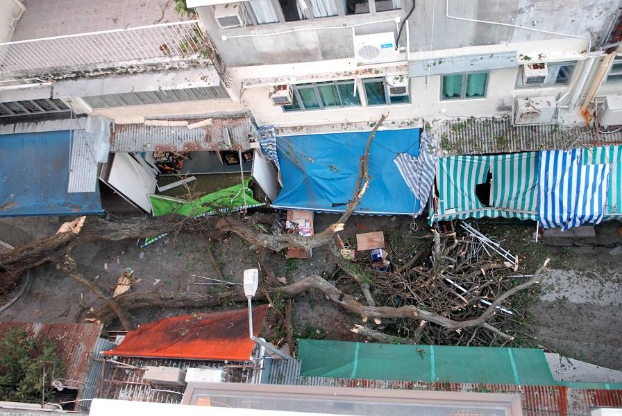 赤柱大街百年古樹刺桐突倒塌。資料圖片