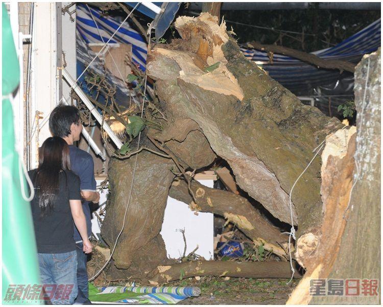 康文署人員用繩固定樹身,以備鋸斷粗壯的樹身。資料圖片