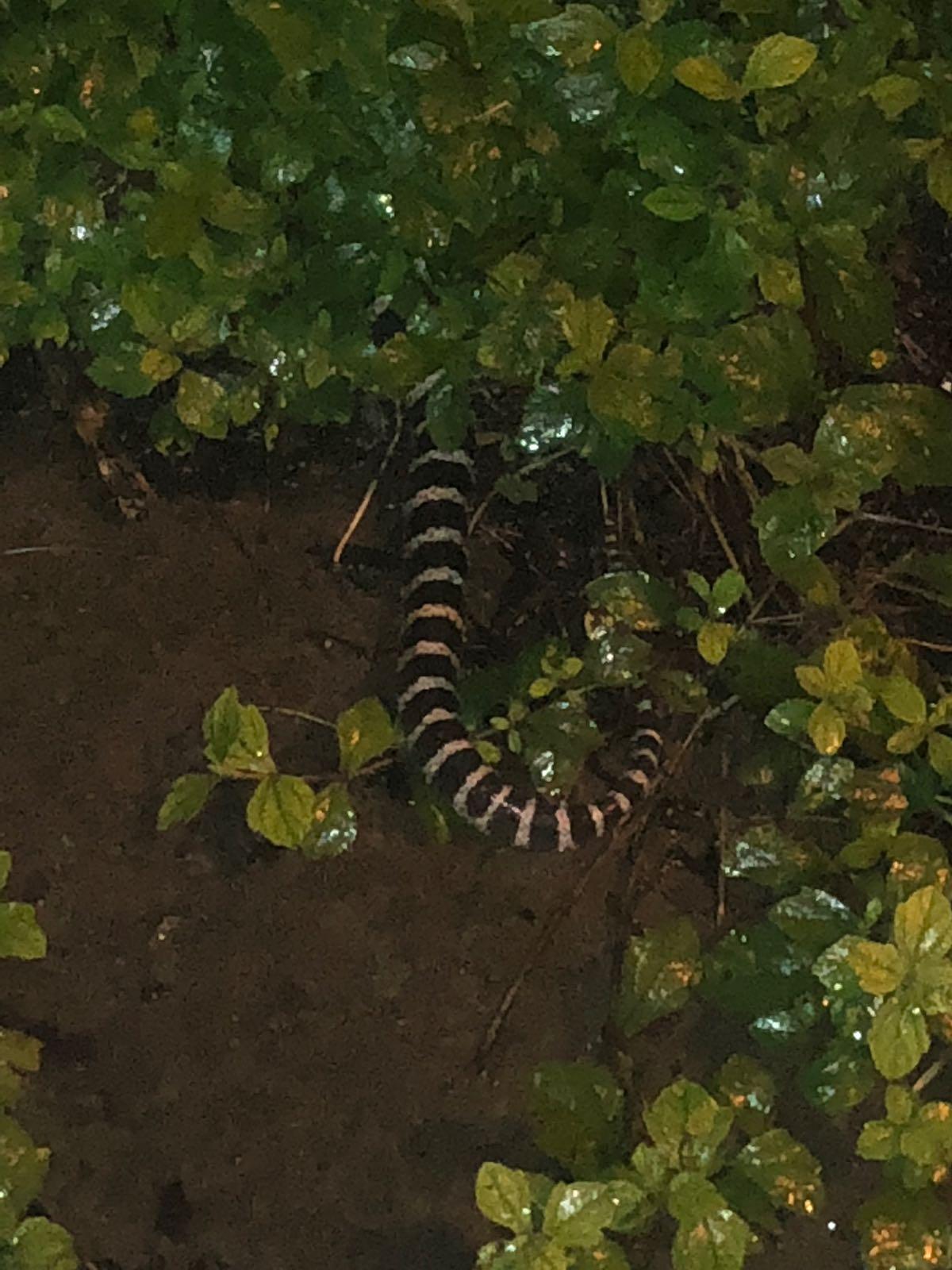 懷疑是金腳帶的毒蛇被沖上行人路。讀者提供