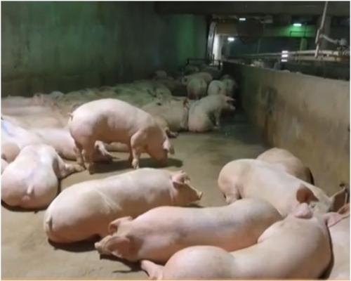 內蒙古自治區呼和浩特市回民區確診一宗生豬非洲豬瘟疫情。資料圖片