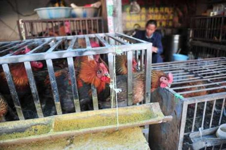 家禽接種疫苗有效減少了活禽市場和養殖場中H7N9病毒的傳播。