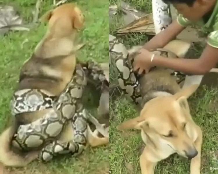 一隻唐狗懷疑遭一條蟒蛇緊纏下半身及後腳,快將成為蟒蛇的「點心」。此時,3名男孩衝出營救。 影片截圖