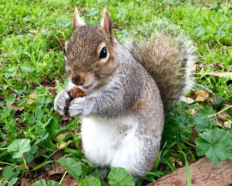 野生松鼠數量預計於明年春季向公眾公布。網圖