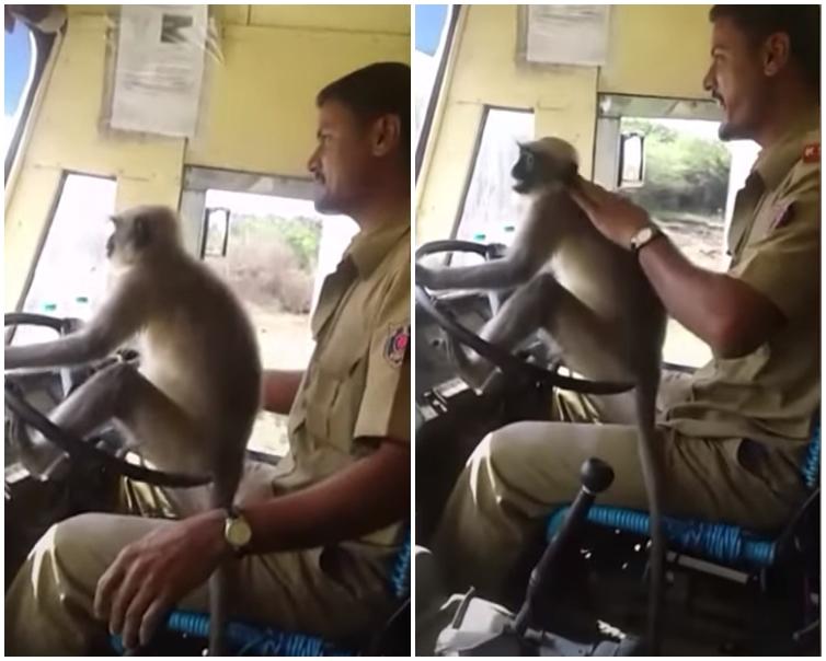 猴子穩坐在軚盤上,身穿制服的司機坐在牠後面的司機位上。片段截圖