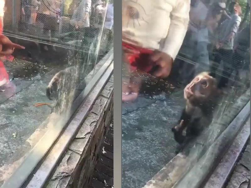 有遊客往猴子籠裡扔辣條,一隻小猴子抓起來吃了,被辣得崩潰。(網圖)