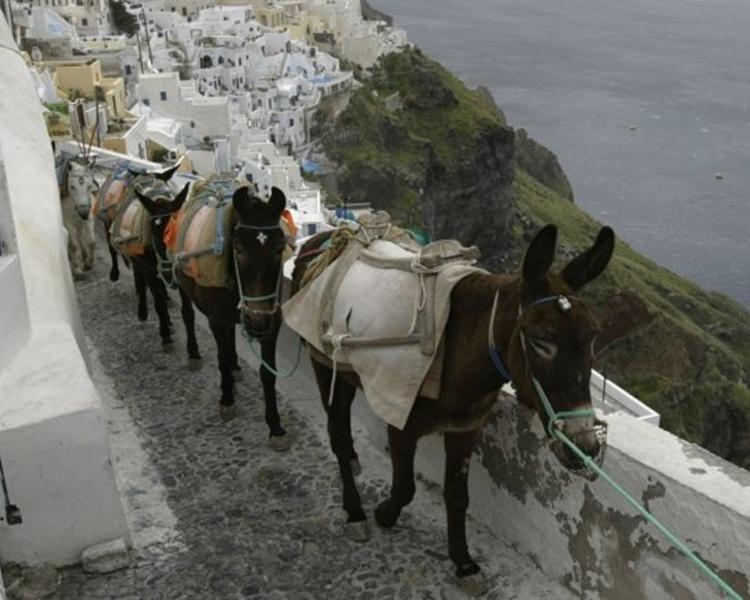 希臘聖托里尼禁體重磅遊客騎驢仔