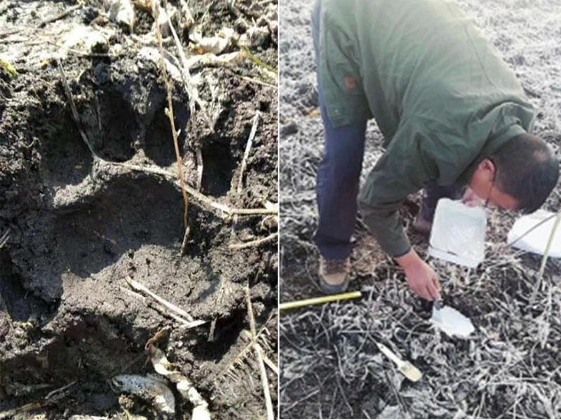 勝利林場地面發現寬12厘米的東北虎足印,及後在車禍現場附近專家亦發現東北虎足迹。(網圖)
