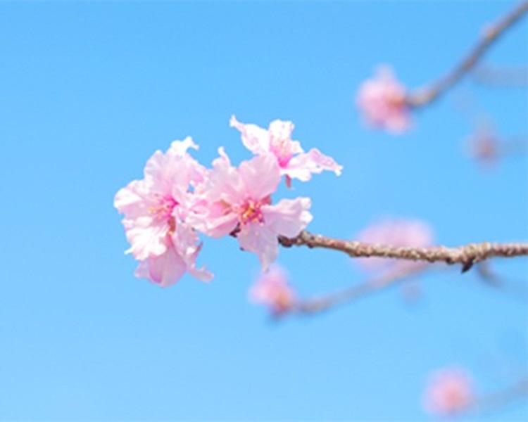 日本多地傳有櫻花開花。網上圖片