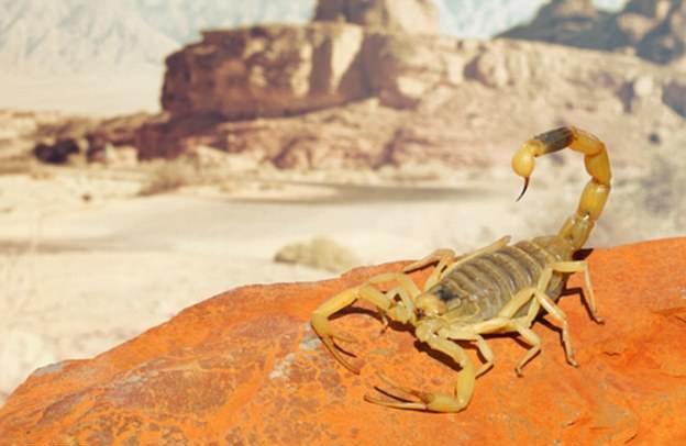「以色列金蠍」毒液1加侖值3億港元 有助研發癌症藥物