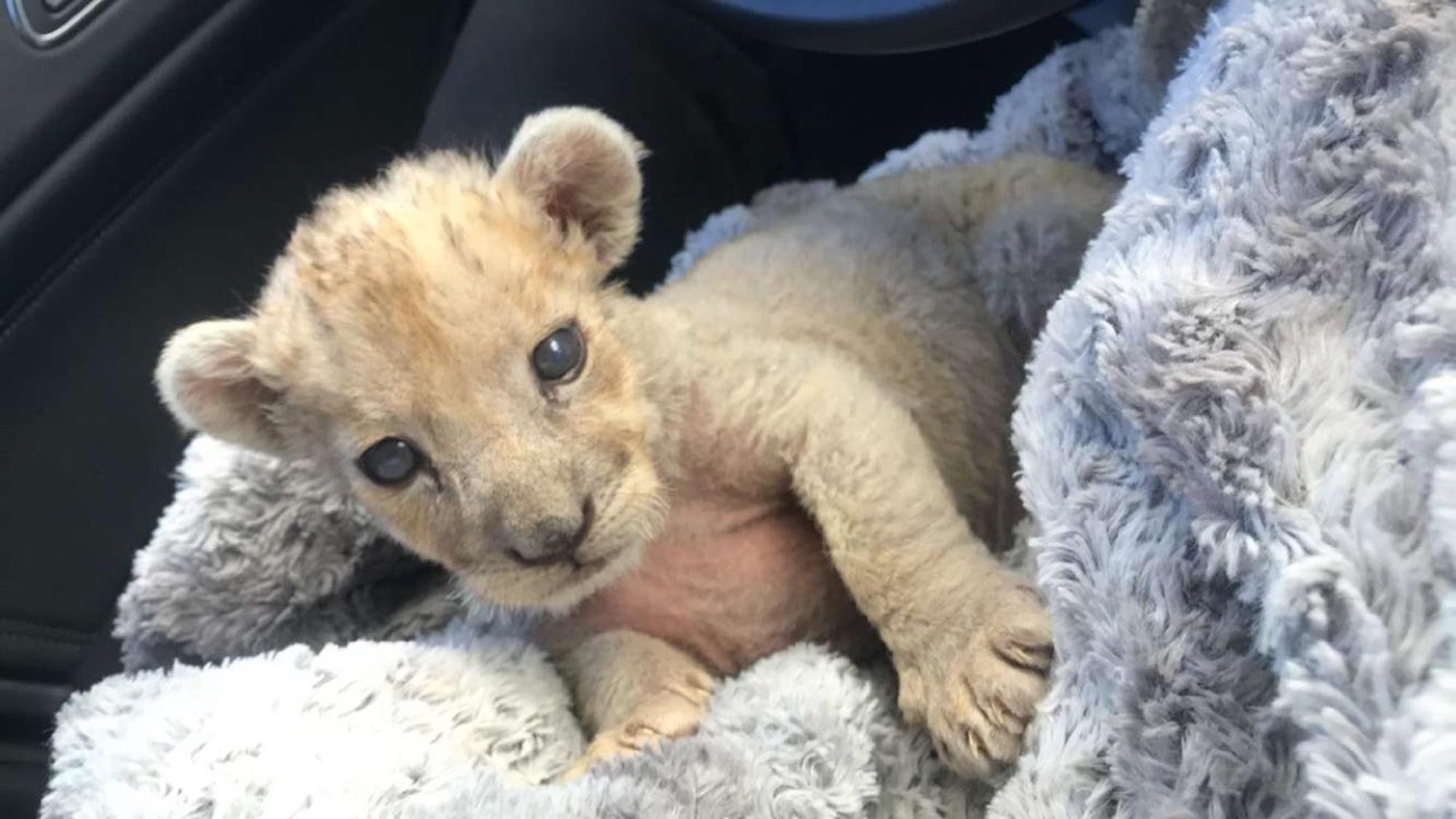 小狮子只有一至两个月大。