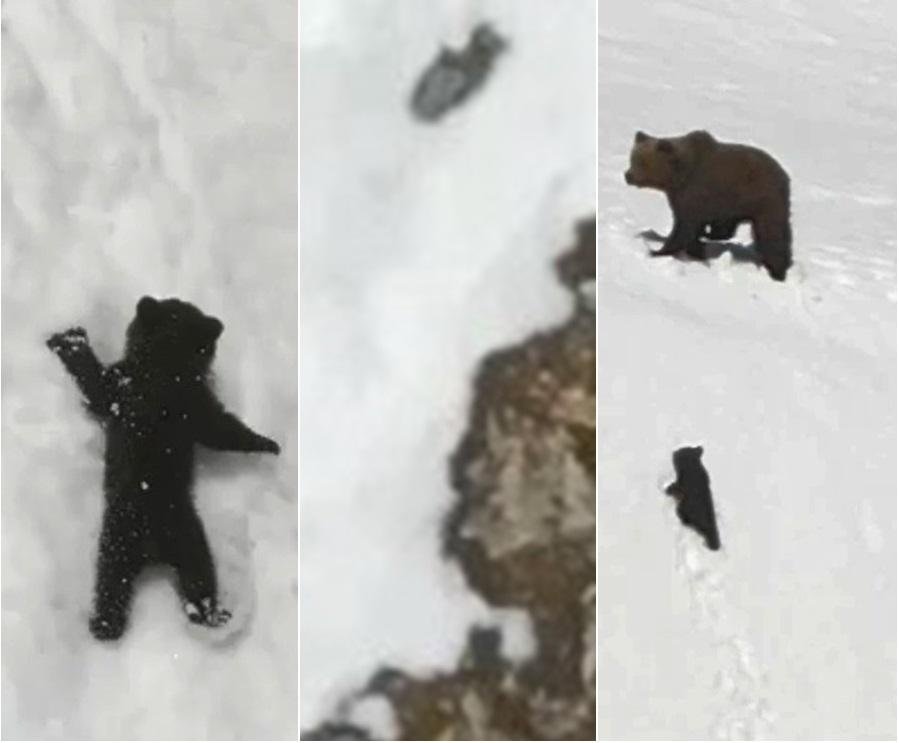 小熊偕熊媽媽爬雪山被無人機嚇倒墮崖後成功登頂。網上圖片