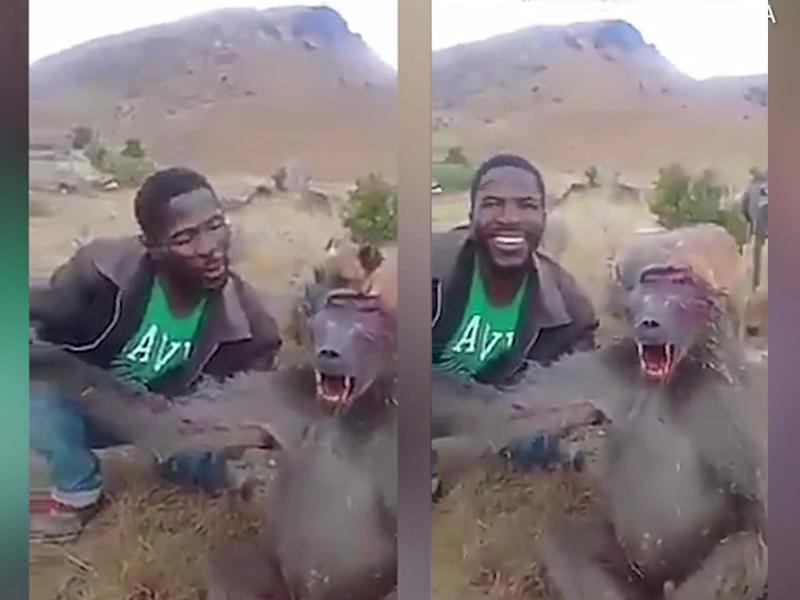 南非一名男子涉嫌虐待狒狒,被当地动物保护组织通缉,要找出这名冷血男子。(网图)