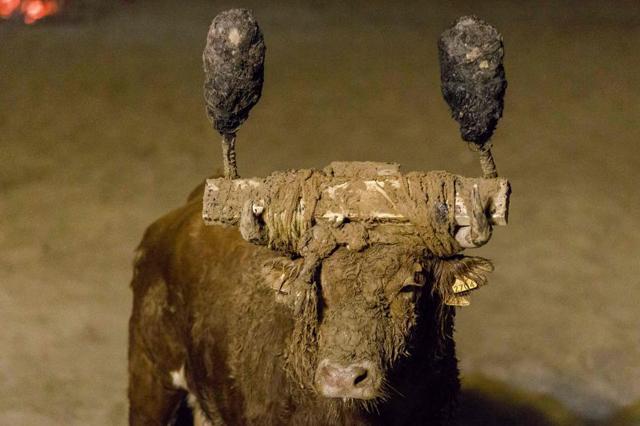 公牛的角被绑两根包着焦油球的火把,并在身上涂满污泥。 网图