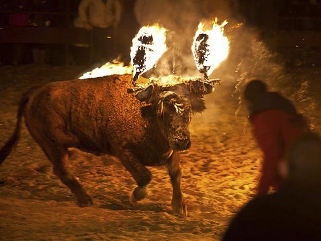 仪式结束后「火牛」将送到屠房宰杀。 网图
