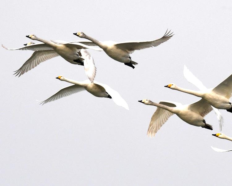山西聖天湖迎來首批過冬白天鵝。新華社