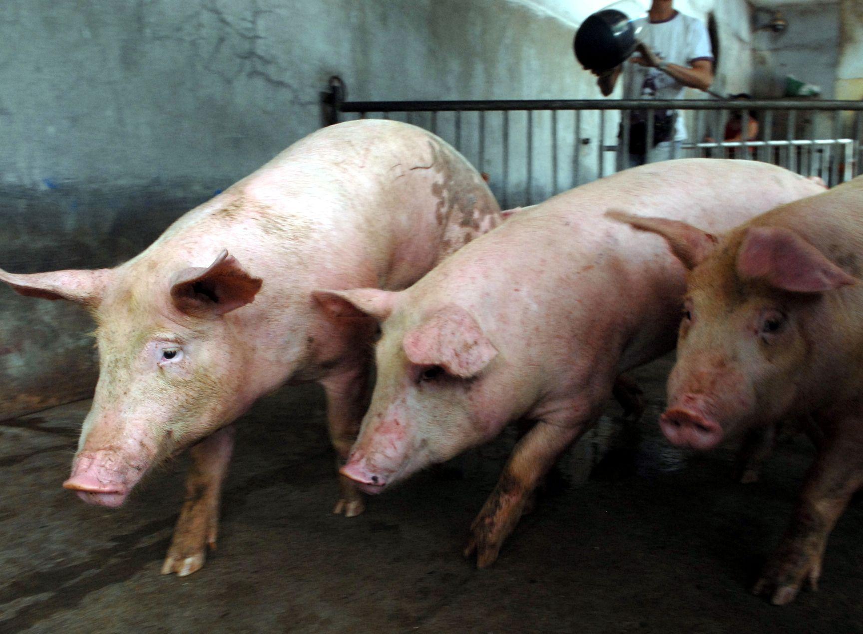 陕西神木市及贵州贵阳市分别确诊1宗非洲猪瘟疫情。资料图片