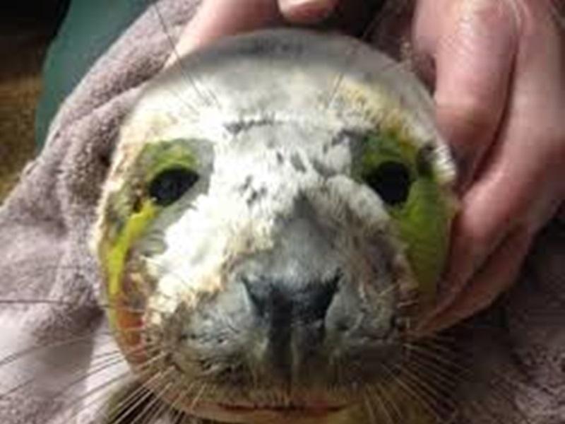 受伤海豹伤口严重感染。网图