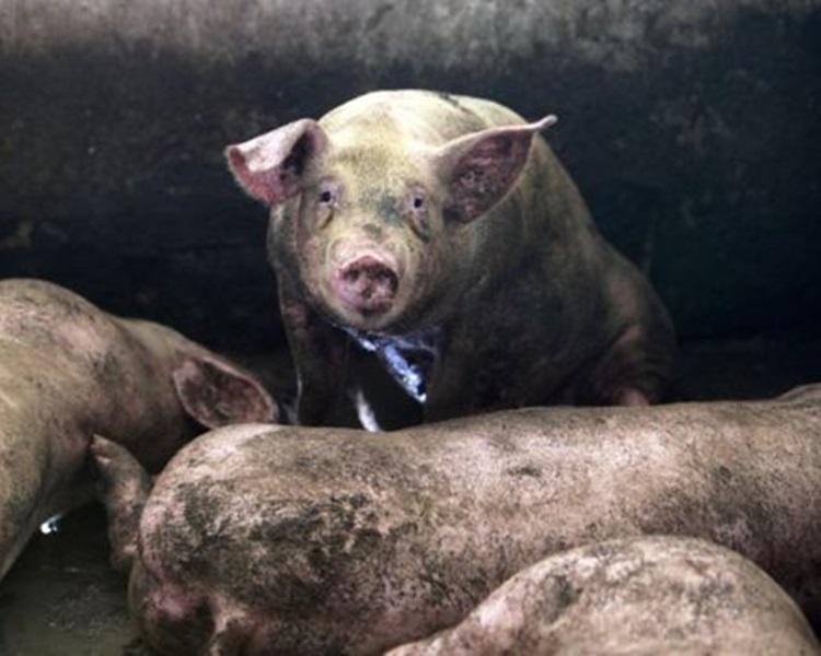 广东省爆发非洲猪瘟,当局全力保障供港猪只不受影响。资料图片