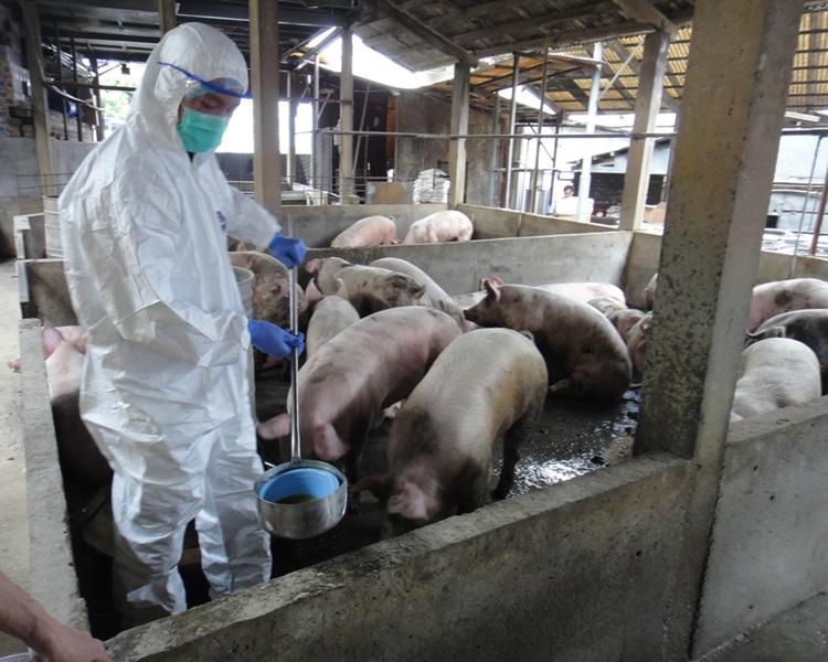 非洲豬瘟殺入廣東,學者稱暫時毋須全面禁止內地豬隻供港。資料圖片