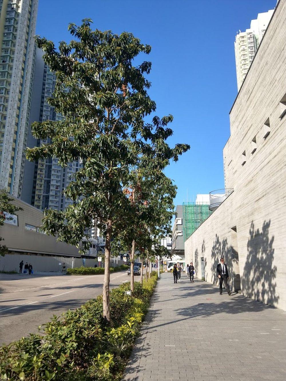 金蒲桃的基本屬性適合香港街道的環境,包括能抵受路邊污染、較少蟲害疾病、耐風、耐旱等。發展局提供