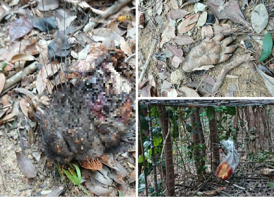 鰂魚涌發現有捕獸籠,並有箭豬皮肉掛在樹上 。讀者提供