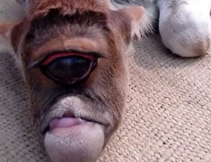 一隻獨眼小牛出生後,意外受到村民膜拜。(網圖)