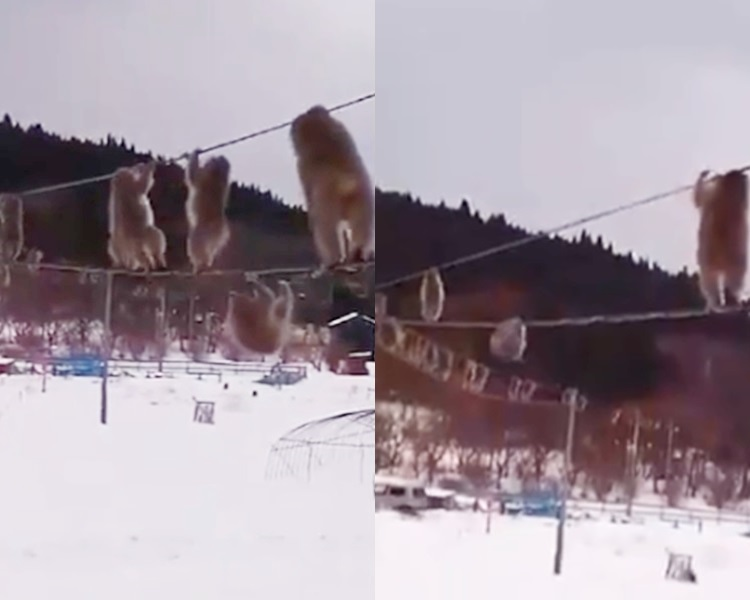一群猴子正在扶着电线行走。