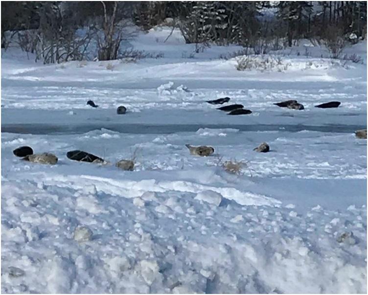 在小鎮上出現一群一群的海豹到處滑來滑去。圖:twitter