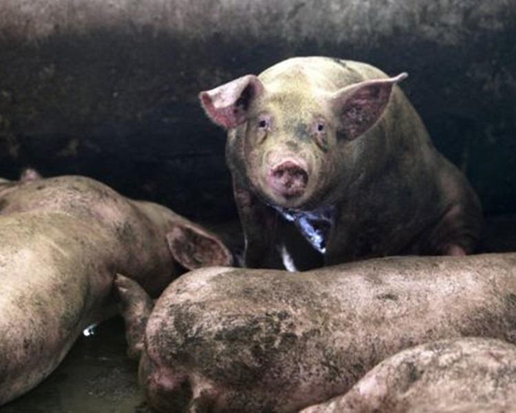 江蘇再爆豬瘟,逾千隻豬隻死亡。資料圖片