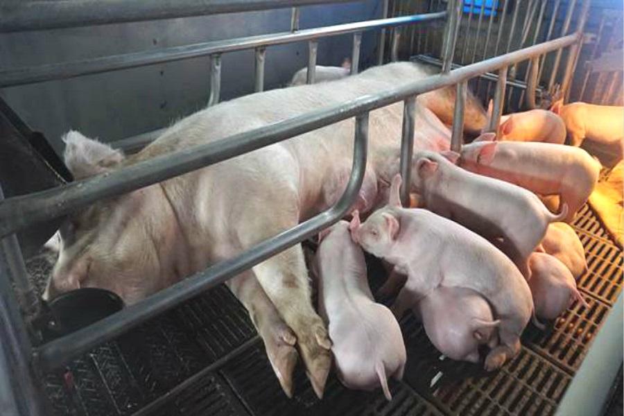 台湾针对非洲猪瘟疫区旅客检疫。网上图片