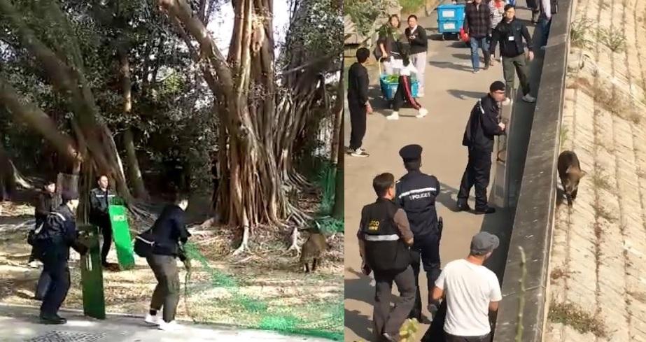 昨日大埔有野豬出現,需要警員「追捕」。Tai Po 大埔圖片
