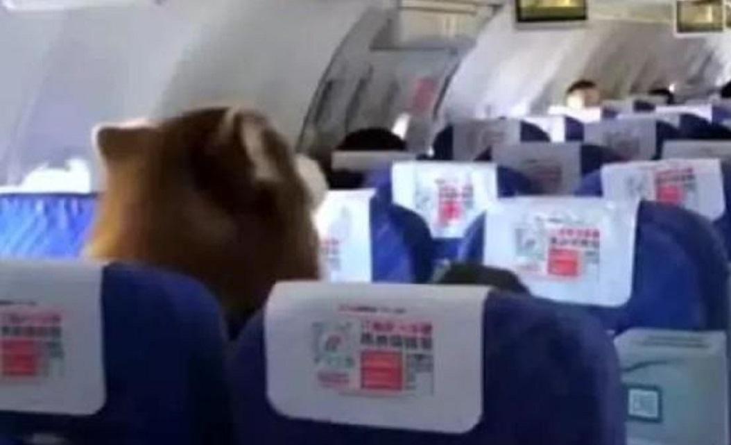 南方航空客機經濟艙坐了隻阿拉斯加犬 。網上圖片