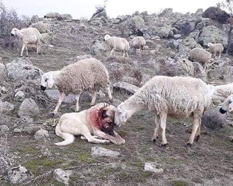 牧羊犬与狼群一战致满颈鲜血。网上图片