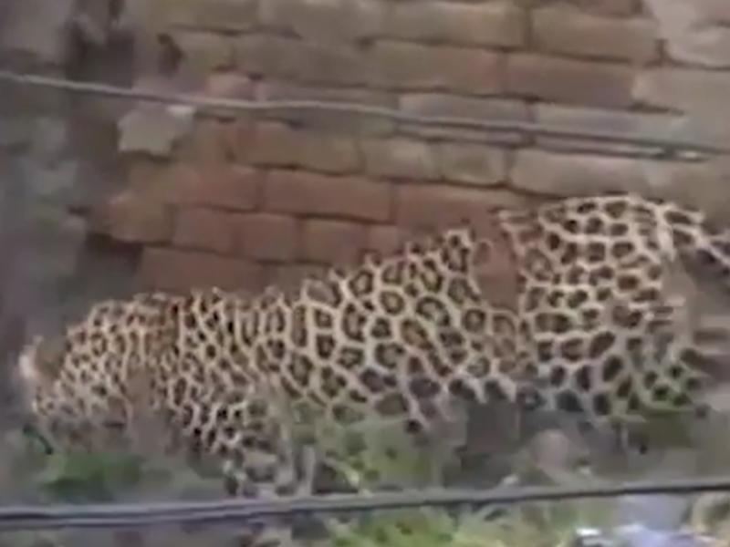 印度野生花豹誤闖村莊。網圖