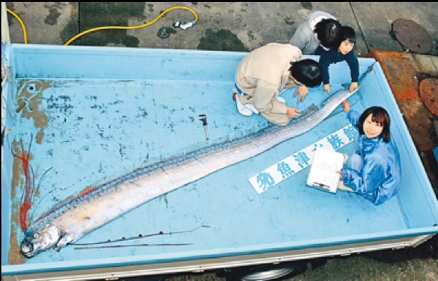 皇带鱼随后被送往邻近的鱼津水族馆进行研究。网上图片