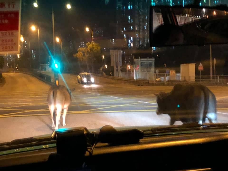 大埔有2隻野牛在馬路上出沒。 Tai Po 大埔網民Hang Tsui圖片