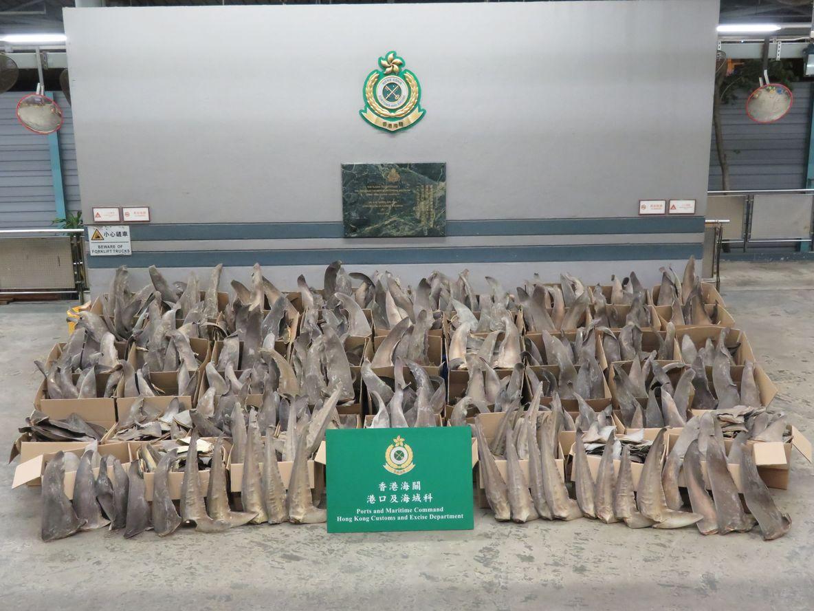 海關檢獲約600公斤懷疑受管制屬瀕危物種的乾魚翅。政府新聞處圖片
